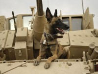 U.S. Air Force military working dog Jackson sits on a U.S. Army M2A3 Bradley Fighting Vehicle before heading out on a mission in Kahn Bani Sahd, Iraq, Feb. 13, 2007. His handler is Tech. Sgt. Harvey Holt, of the 732nd Expeditionary Security Forces Squadron | U.S. Air Force photo by Staff Sgt. Stacy L. Pearsall